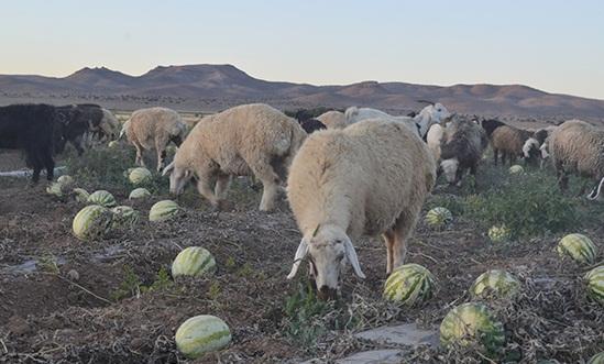 بازی باخت باخت کشاورزان کبودراهنگ / هندوانه های کبودراهنگ نصیب گاوها و گوسفندان شد