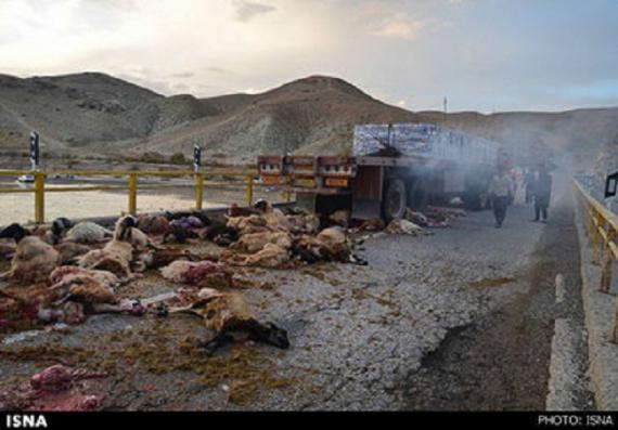 تصاویر/ تریلر ۷۰ گوسفند را کشت