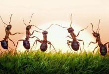 همکاری بسیار جالب مورچه ها در حمل غذا + فیلم