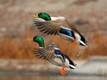 آمار پرندگان مهاجر در تالاب شیرین سو کاهش یافته است