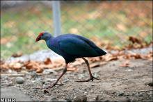 باغ وحش پرندگان در کبودراهنگ احداث می شود