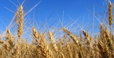 یک سوم غلات استان درکبودراهنگ تولید می شود